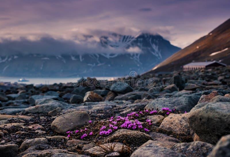 Ajardine la naturaleza de las montañas de Spitzbergen Longyearbyen Svalbard en un día polar con las flores árticas en el verano imágenes de archivo libres de regalías