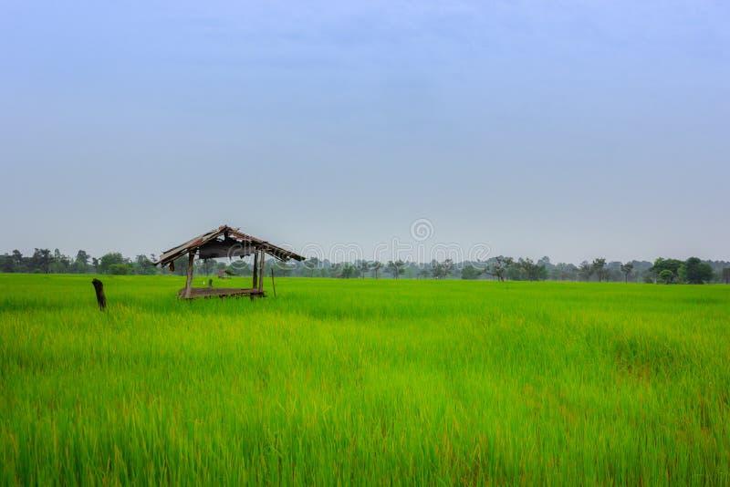 Ajardine la visión sobre campos de oro del arroz y cabina vieja de la cabaña adentro foto de archivo libre de regalías
