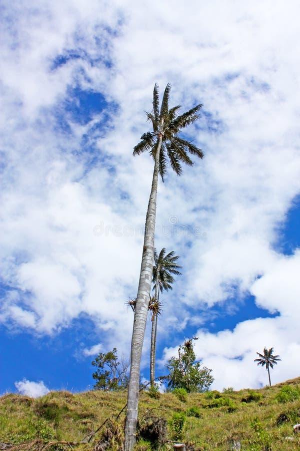 Ajardine no vale de Cocora com palma de cera, entre o mounta fotografia de stock royalty free