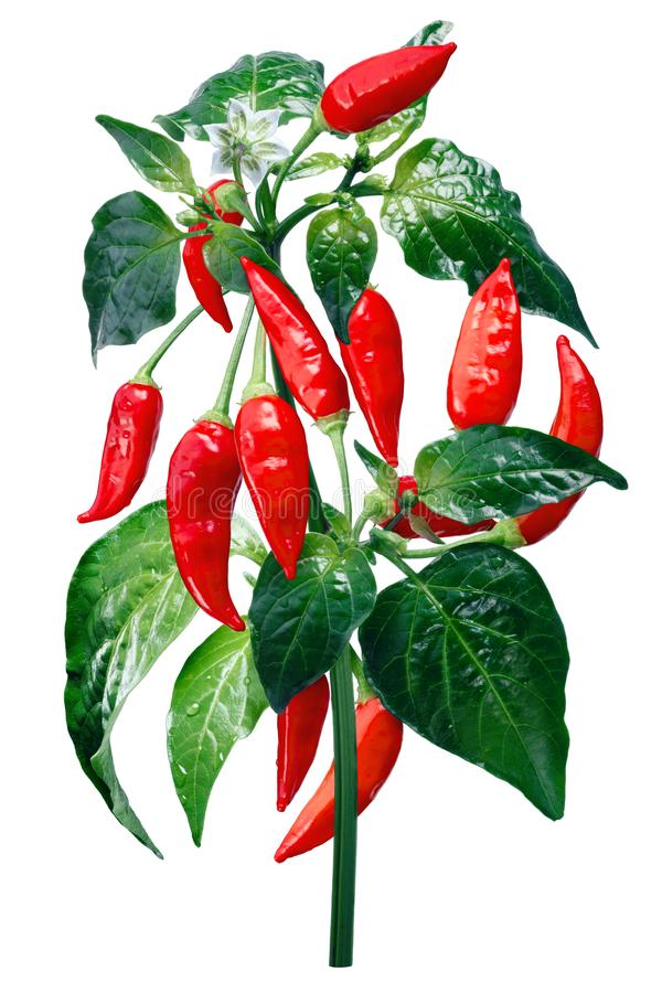 Aji Brazilian Bonanza pepper, paths stock photo