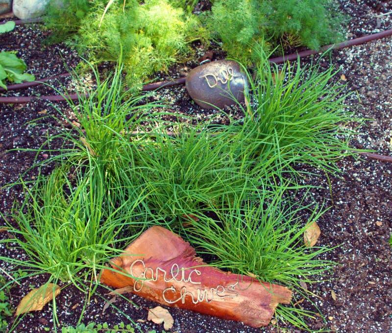 Ajo, cebolletas e hierbas del eneldo en un jardín fotos de archivo libres de regalías