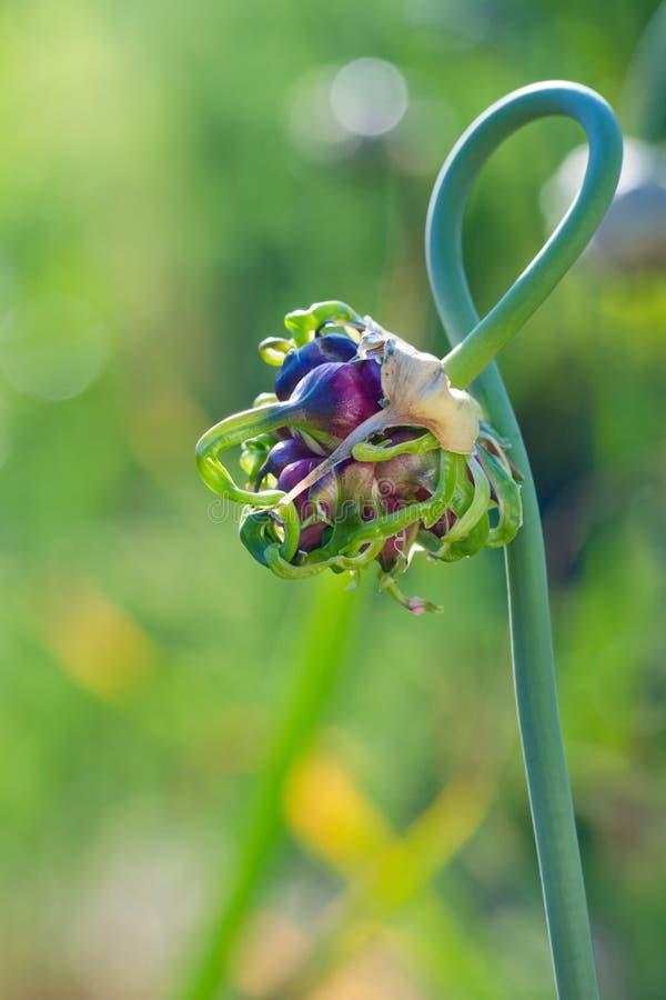 Ajo fresco que crece en un jardín del verano fotos de archivo libres de regalías