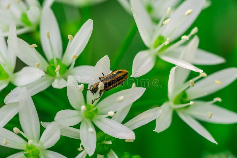 Ajo salvaje, flor del ursinum del allium del ajo del oso con el insecto imágenes de archivo libres de regalías