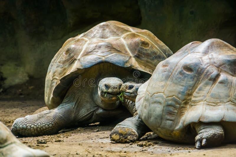 Ajouter intimes de tortue de Galapagos à leur tête ensemble, espèce terrestre vulnérable de tortue des îles de Galapagos photo libre de droits