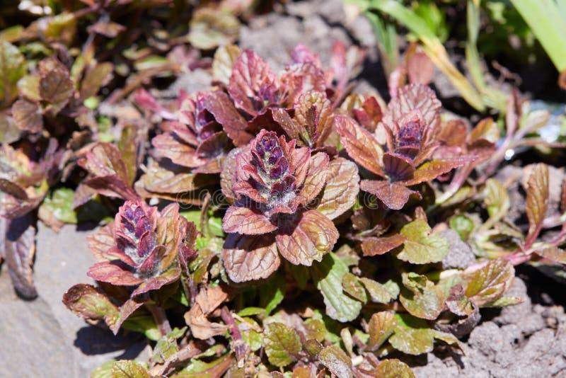 Ajuga reptans is een plant van de familie Lamiaceae royalty-vrije stock fotografie