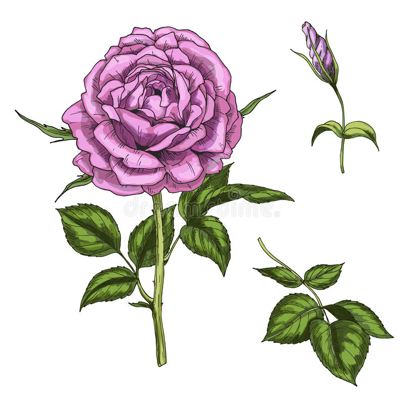 Ajuste com a flor, o botão, as folhas cor-de-rosa e as hastes isolados no fundo branco Ilustração botânica ilustração stock