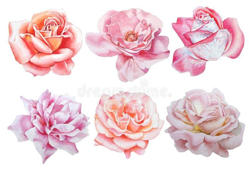 Ajuste com flores Rosa Peônia Ilustração da aguarela ilustração royalty free