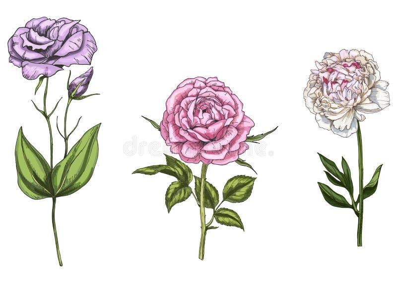Ajuste com a peônia, as flores cor-de-rosa e do eustoma, as folhas e as hastes isoladas no fundo branco Ilustração botânica ilustração royalty free