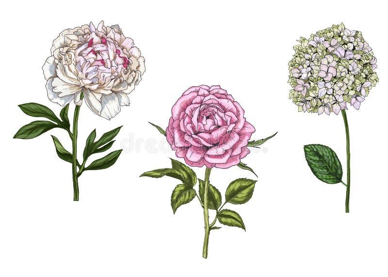 Ajuste com a peônia, as flores cor-de-rosa e do flox, as folhas e as hastes isoladas no fundo branco Ilustração botânica ilustração stock