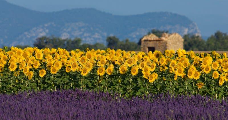 Ajuste da alfazema e do girassol em Provence, France fotografia de stock