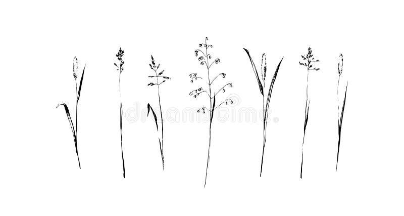 Ajuste da mão tirada para esboçar cereais selvagens Pintura da planta pela tinta Ilustração botânica do vetor do esboço Erva isol ilustração royalty free