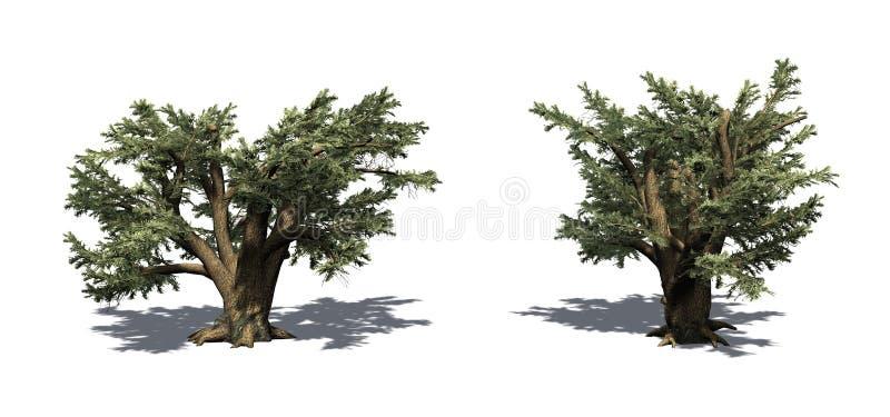 Ajuste das árvores de Cedar Of Lebanon com sombra no assoalho ilustração royalty free
