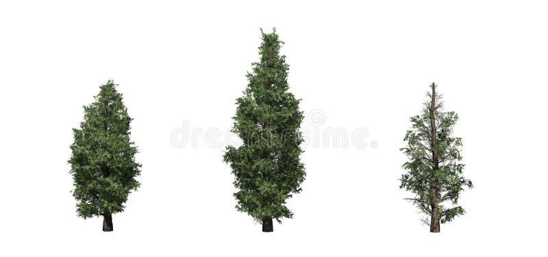 Ajuste das árvores de cedro vermelho orientais ilustração do vetor