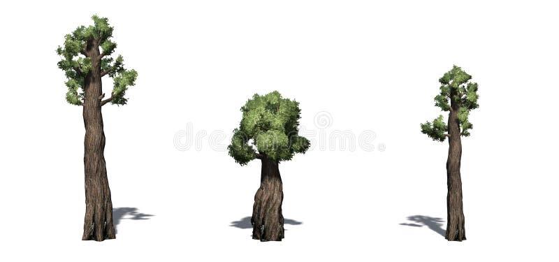 Ajuste das árvores gigantes da sequoia vermelha com sombra no assoalho ilustração do vetor