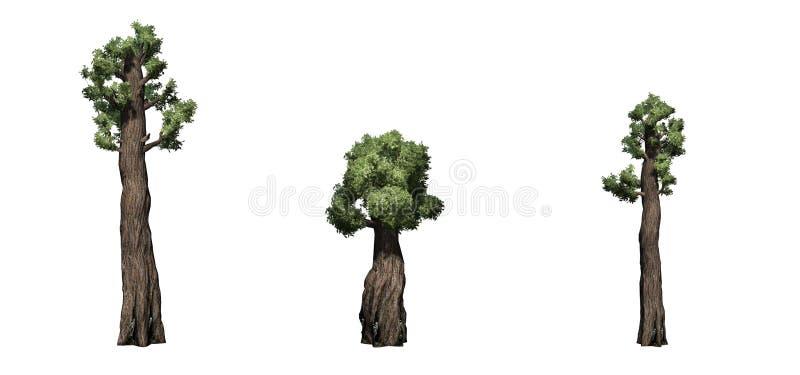Ajuste das árvores gigantes da sequoia vermelha ilustração stock