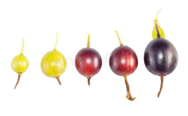 Ajuste das fases do amadurecimento de fruto do corinto preto em um branco imagem de stock royalty free