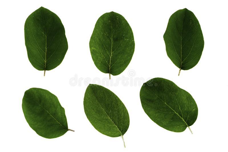 Ajuste das folhas verdes do marmelo isoladas no fundo branco foto de stock