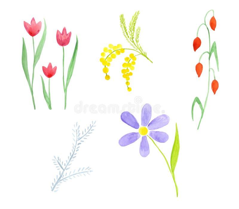 Ajuste de cinco wildflowers diferentes Tulipa, mimoza, camomila ilustração stock
