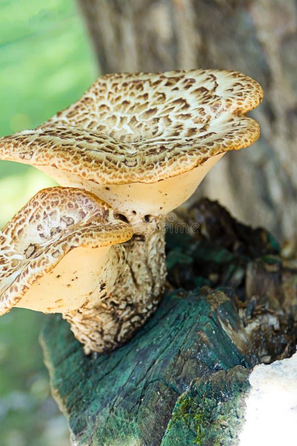 Ajuste dos cogumelos com uma base branca grossa do pé em um grupo vertical do log velho de madeira de um fundo de madeira borrado imagens de stock royalty free