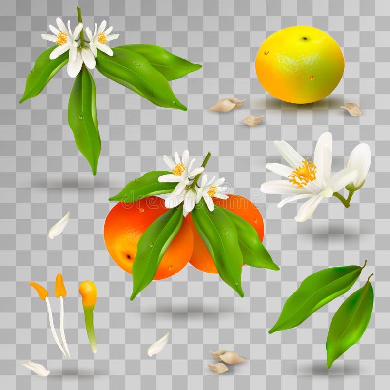 Ajuste dos elementos da estrutura da planta do citrino do mandarino ou da tangerina Flor, pétalas, fruto, folhas, galho, estames, ilustração stock