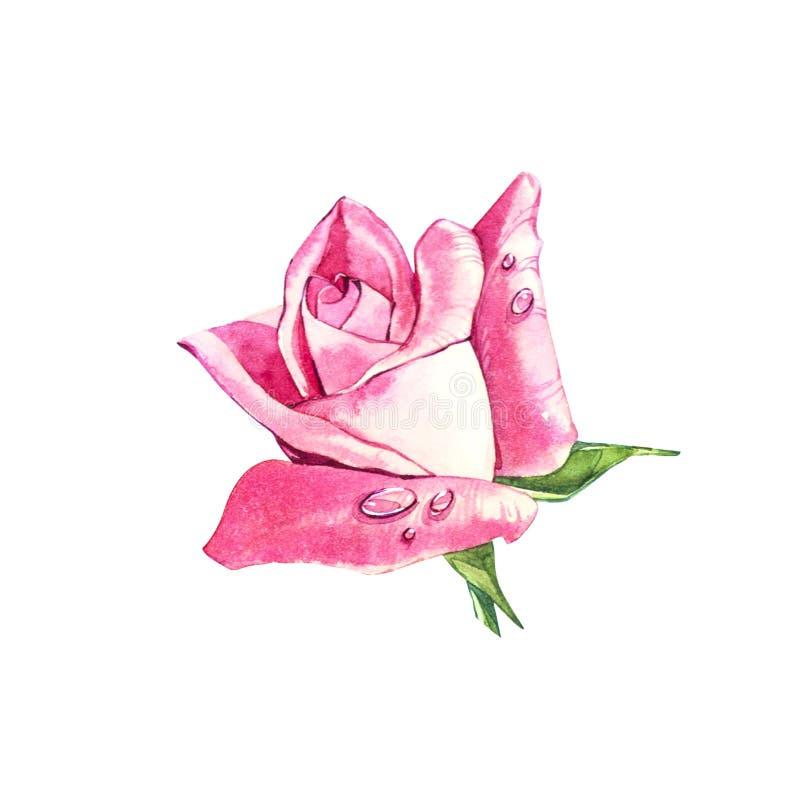 Ajuste elementos da aquarela das rosas O rosa de jardim da cole Ilustra ilustração stock