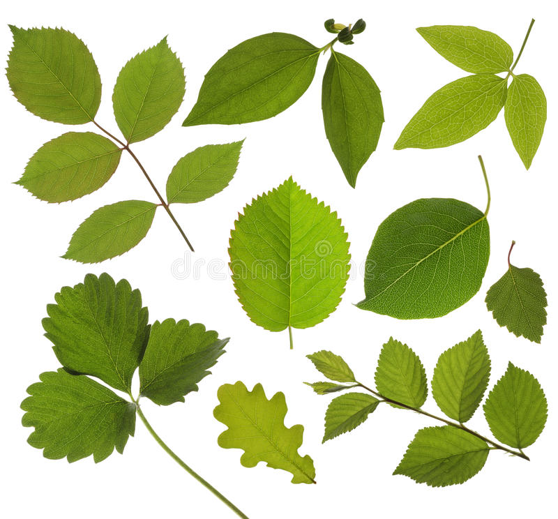 Ajuste a folha verde isolada fotos de stock royalty free