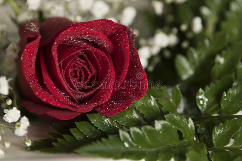 Ajuste romántico de la tarjeta del día de San Valentín de la boda del solo del rojo primer real de la rosa con las gotitas de agu imagenes de archivo