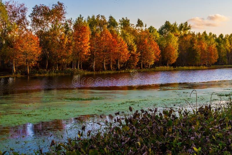 Ajuste Sun na folhagem de outono brilhante de árvores de Cypress fotografia de stock royalty free