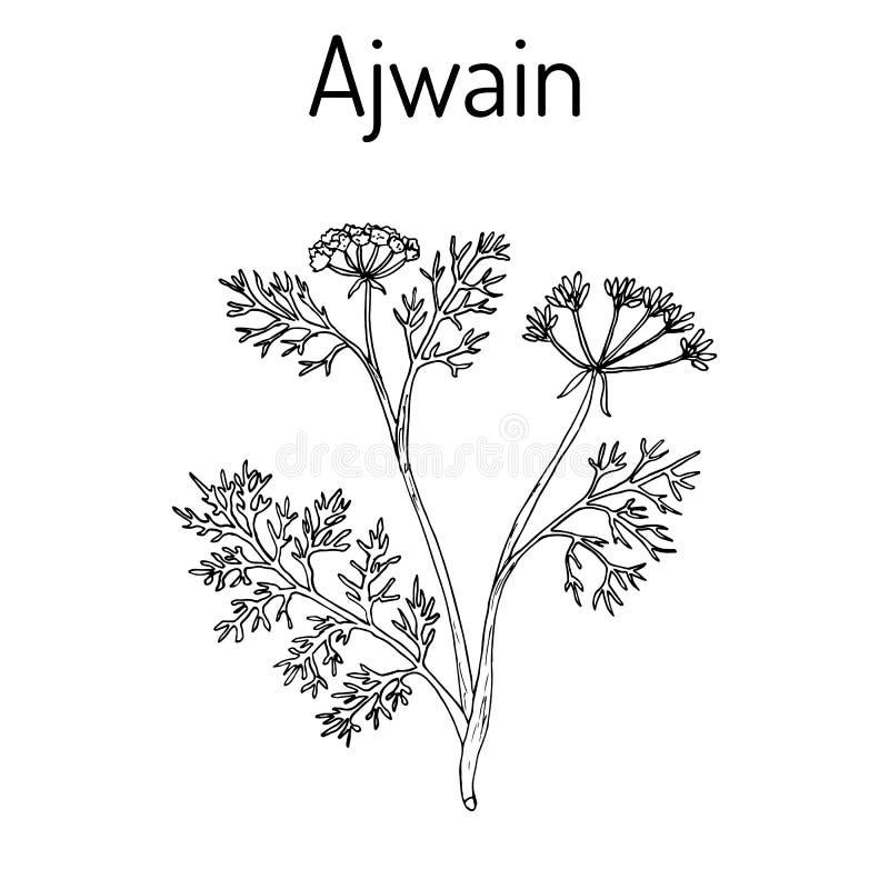 Ajwain trachyspermum ammi , or ajowan caraway, bishop weed, carom - spice herb vector illustration