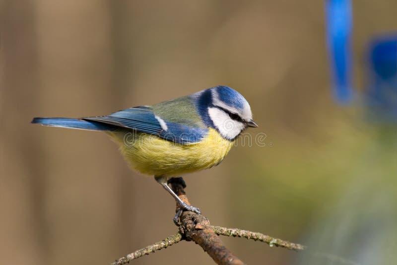 aka蓝色caeruelus parus山雀 库存照片