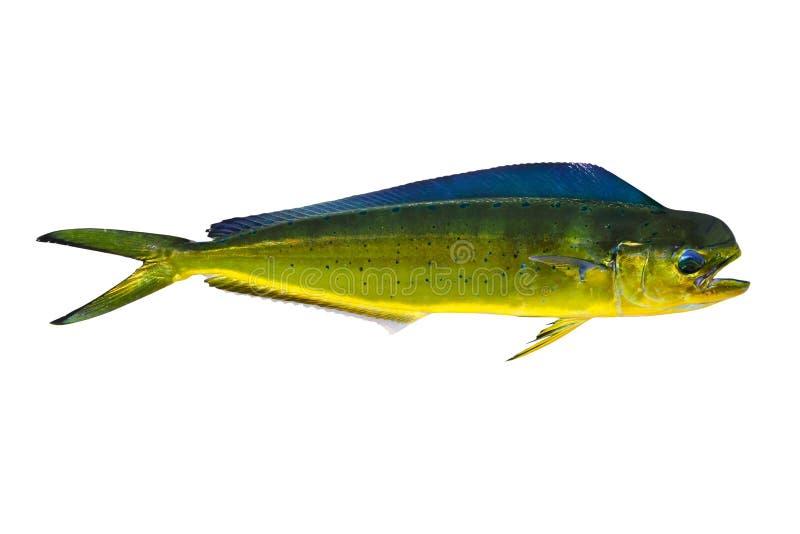 Aka Dorado dolphin fish mahi-mahi on white. Aka Dorado dolphin fish mahi-mahi Coryphaena Hippurusl isolated on white royalty free stock photos