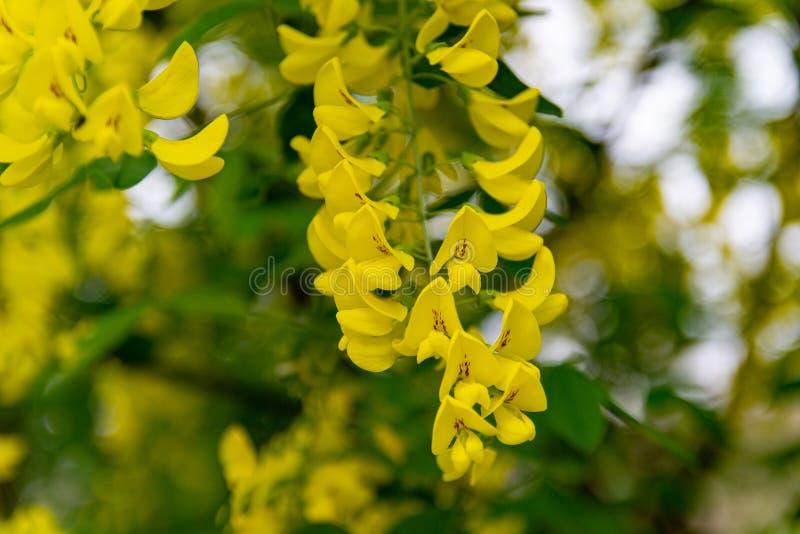 Akacia eller alm för blom gul arkivfoton
