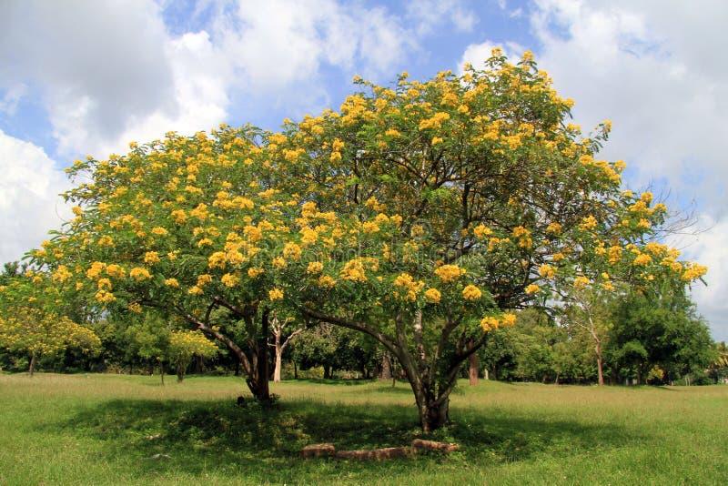 Akacia med gula blommor arkivbild