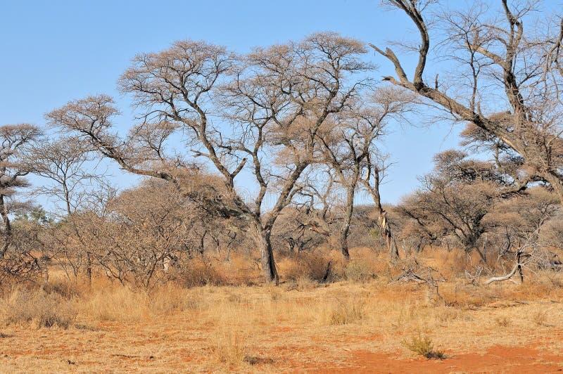 Akacia- och gräslandskap arkivfoton