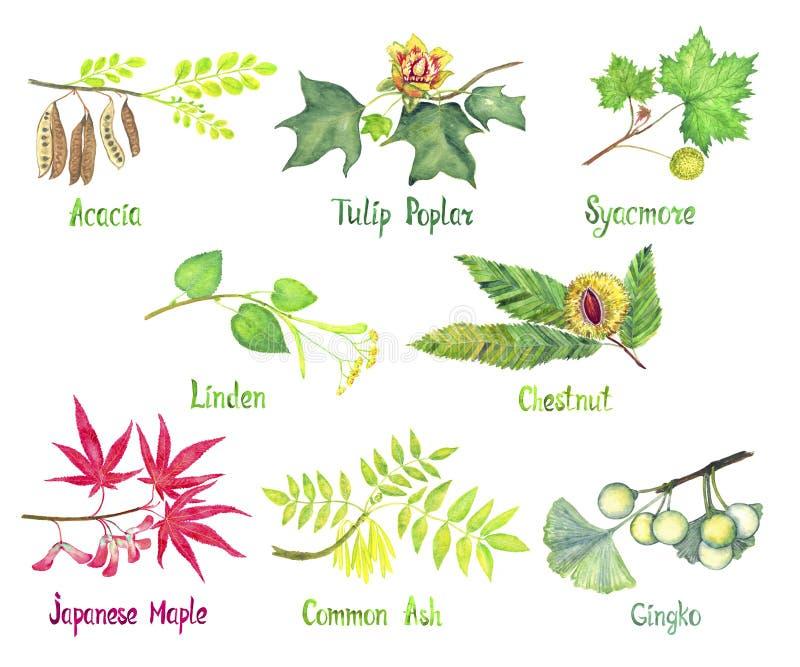 Akacia-, tulpanpoppel, sykomor, lind, kastanj, japansk lönn, gemensam aska-, Gingkofilial med gröna sidor och frömuttrar stock illustrationer