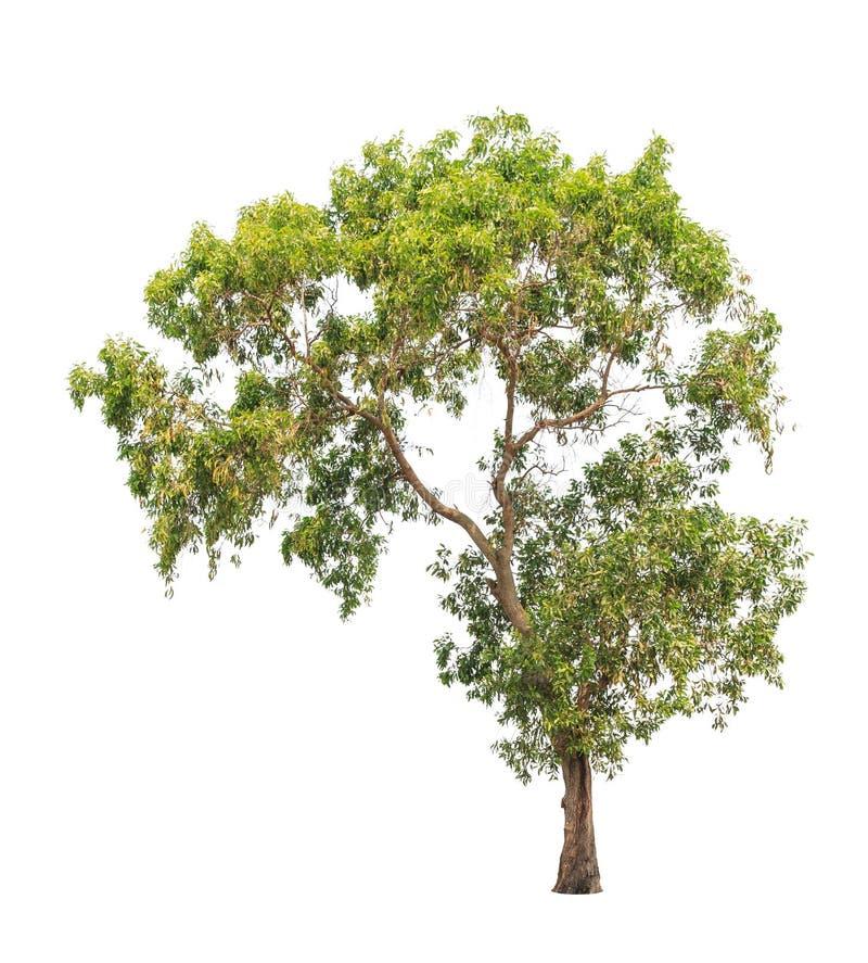 Akaciaauriculiformis, isolerat tropiskt träd arkivbilder