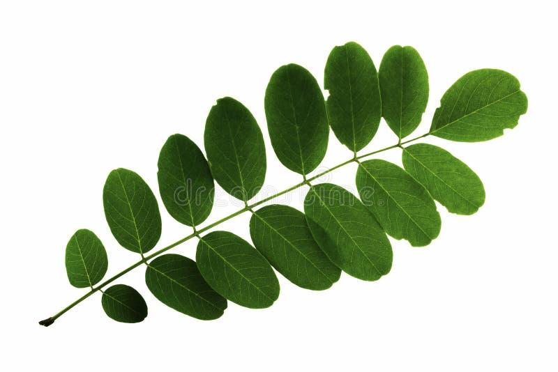 Akaciabladinflorescence som isoleras p? vit bakgrund fotografering för bildbyråer