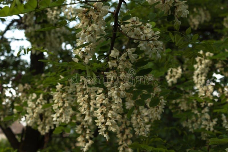 Akaciafilialer beströs med ett stort antal klungor med vita blommor bland gröna sidor arkivfoton