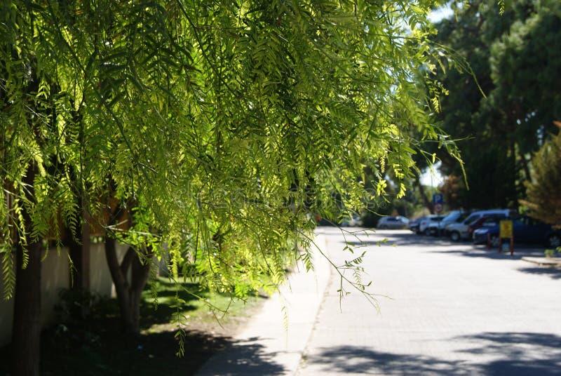 Akaciasidor hänger över vägen som tänds av den varma solen royaltyfri fotografi
