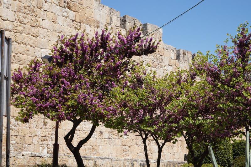 Akaciaträd i Jerusalem royaltyfria bilder