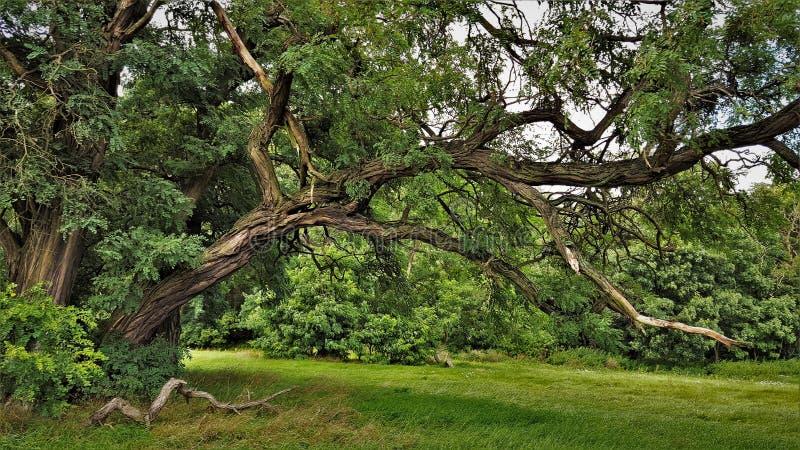 Akaciaträdet på parkerar arkivfoto