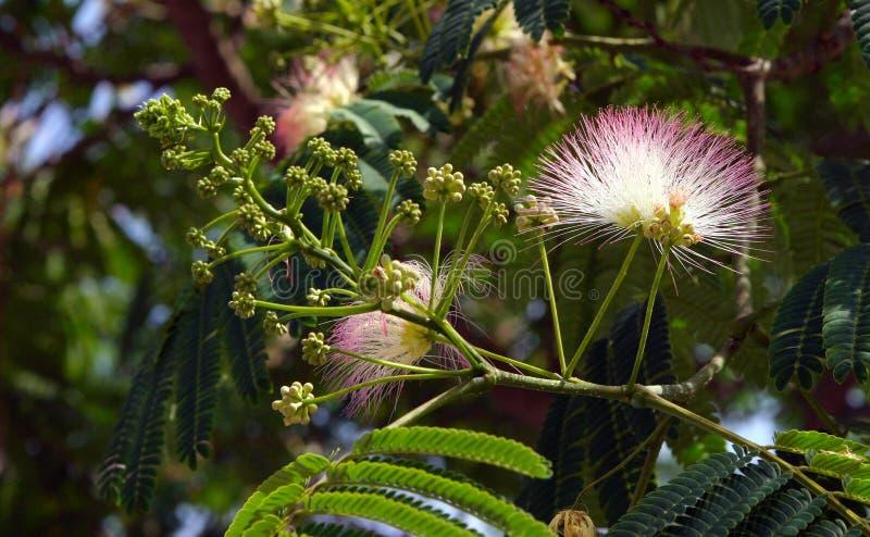 Akacja w kwiacie obrazy stock