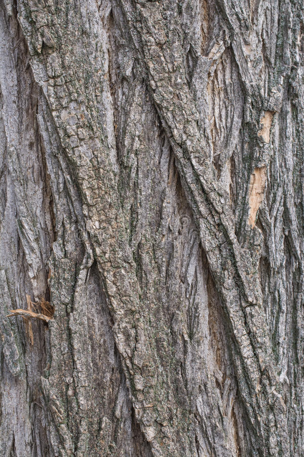 Akacjowa drzewna barkentyna obraz royalty free