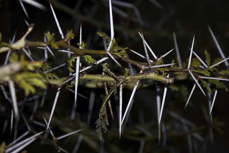 akacjowego kąta cierniowy drzewny szeroki obraz royalty free