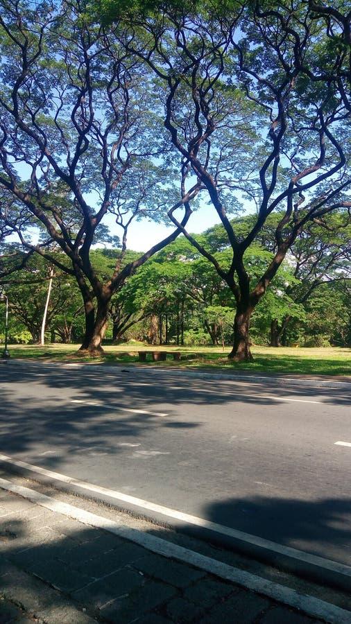 Akacjowi drzewa zdjęcie royalty free