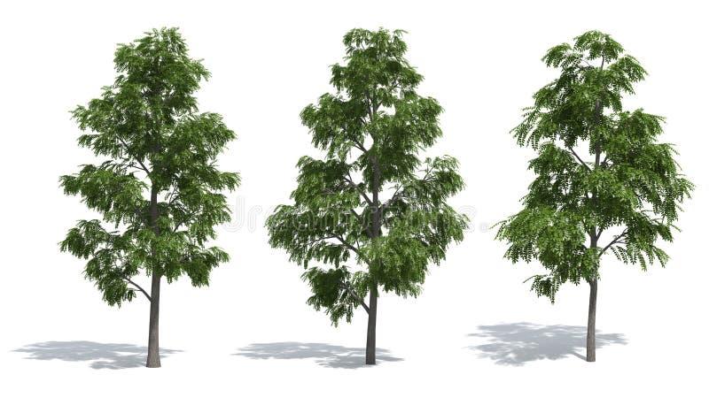 akacjowi drzewa ilustracji