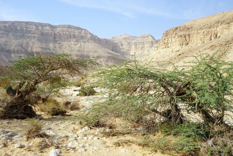 Akacjowi drzewa zdjęcia stock