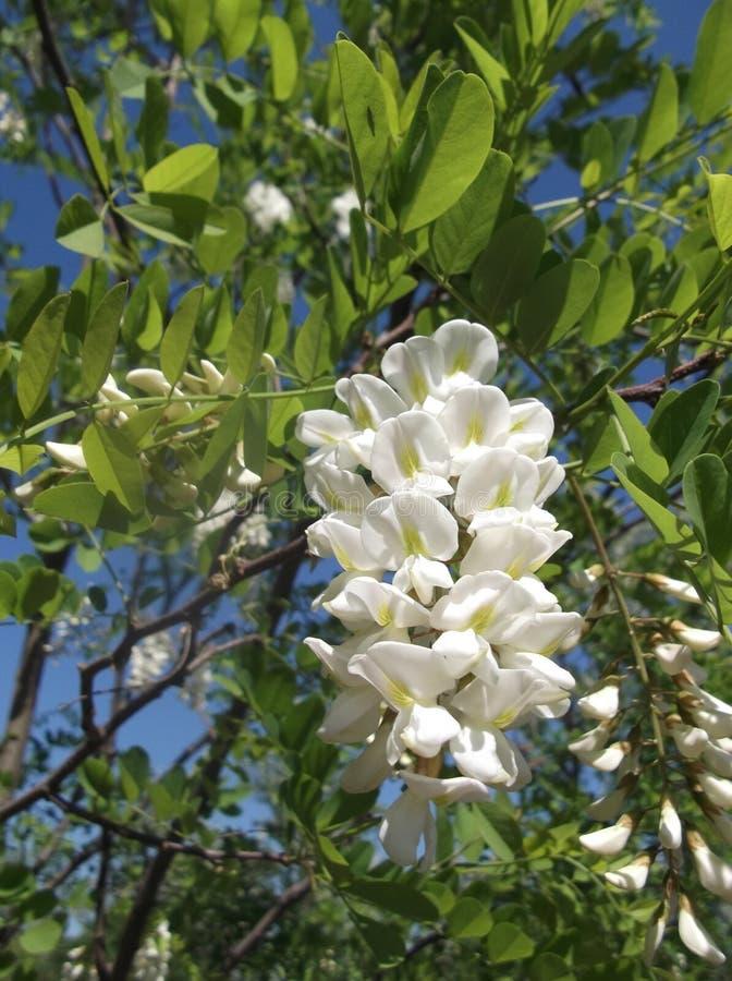 Akacjowi kwiaty zdjęcia royalty free