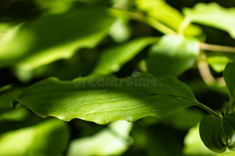 akacjowi zielone li?cie t?o zdjęcie royalty free