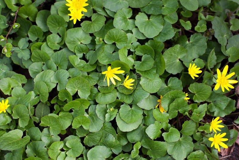 akacjowi zielone li?cie t?o Tekstury tło dla projekt zielonej trawy liści i w kontek?cie niebieskie chmury odpowiadaj? trawy ziel fotografia royalty free